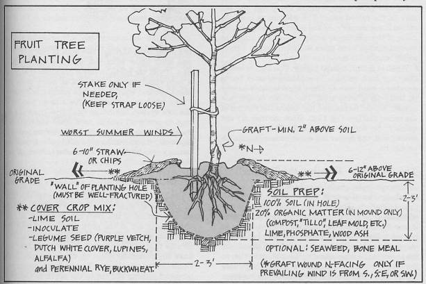 Diagram of a properly planted fruit tree.